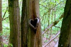 lesní srdíčko